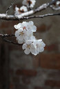 White apricot flowers branch on a spring day. Closeup Royalty Free Stock Photo