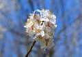 White apricot flowers Royalty Free Stock Photo