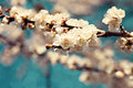 White apricot tree flowers in spring Royalty Free Stock Images