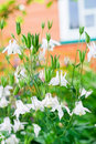White aquilegia Stock Photography