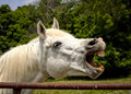 White arabian horse laughing with teeth exposed mouth open and Royalty Free Stock Photo