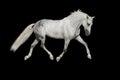 White Arabian Horse