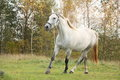 White arabian horse trotting in the forest Stock Photography