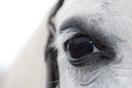 White arabian horses eye Royalty Free Stock Photo