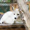 White arctic fox animal portrait Royalty Free Stock Photo