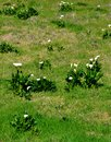 White arum lily Stock Photo
