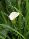 White arum lily green leaves flower garden plant tuin this is in garden with water drops on leaves and flower Stock Image