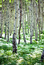 White Aspens Royalty Free Stock Photo