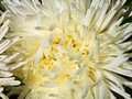 White aster flower close up head of duchess Stock Photos