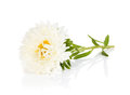 White aster flower isolated on background Royalty Free Stock Images