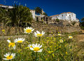 White asteraceae flowers in betancuria an old capital of fuerteventura canary islands spain Stock Images