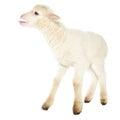 White baby lamb Royalty Free Stock Photo
