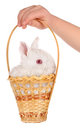 White baby rabbit and child hand Royalty Free Stock Image