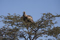 White Backed Vulture Roosting on Thorny Treetop Royalty Free Stock Photo