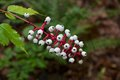 White baneberry contains cardiogenic toxins than can have an immediate sedative effect on human cardiac muscle Stock Photo