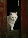 White Barn Cat Royalty Free Stock Photo