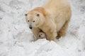 White bear Royalty Free Stock Photo