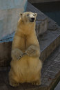 White bear stan on back paws Royalty Free Stock Photography