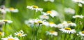 White beautiful chamomiles Royalty Free Stock Photo