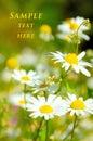 White beautiful chamomiles Royalty Free Stock Image
