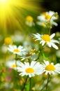 White beautiful chamomiles Royalty Free Stock Images