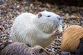 White beaver Royalty Free Stock Photo