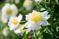 White beds with peonies Royalty Free Stock Images