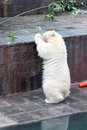 White beear bear playing in the zoo Royalty Free Stock Photo