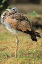 White-bellied bustard Stock Photo