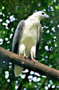 White bellied sea eagle close up of Stock Image