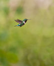 White-bellied Woodstar on flight Stock Photos