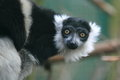 White belted black and white ruffed lemur the detail of Royalty Free Stock Photo