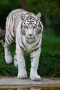 White Bengal Tiger Royalty Free Stock Images
