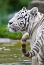 White Bengal Tiger Stock Images