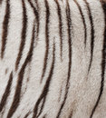 White bengal tiger fur Royalty Free Stock Photos