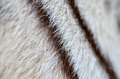 White bengal tiger fur textured of real Royalty Free Stock Photography