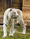 White bengal tiger by indian structure Stock Photo
