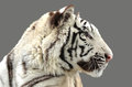 White bengal tiger isolated on gray background Stock Image