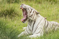 White bengal tiger a lying in the grass roaring Royalty Free Stock Image