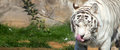 White bengal tiger moscow zoo russia Royalty Free Stock Images