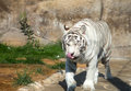White bengal tiger moscow zoo russia Stock Photography