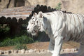 White bengal tiger moscow zoo russia Stock Photo
