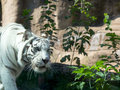 White bengal tiger moscow zoo russia Royalty Free Stock Photography