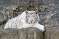 White bengal tiger rare albino in the open air cage of the moscow zoo Royalty Free Stock Photos