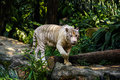 White bengal tiger in singapore zoo walking Royalty Free Stock Image