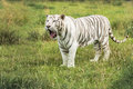 White bengal tiger standing in the grass Royalty Free Stock Photos