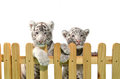 White bengal tiger and wooden fence isolated on background Royalty Free Stock Images