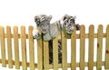 White bengal tiger and wooden fence isolated on background Stock Image