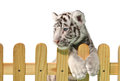 White bengal tiger and wooden fence isolated on background Royalty Free Stock Photos