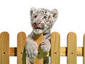 White bengal tiger and wooden fence isolated on background Royalty Free Stock Photo